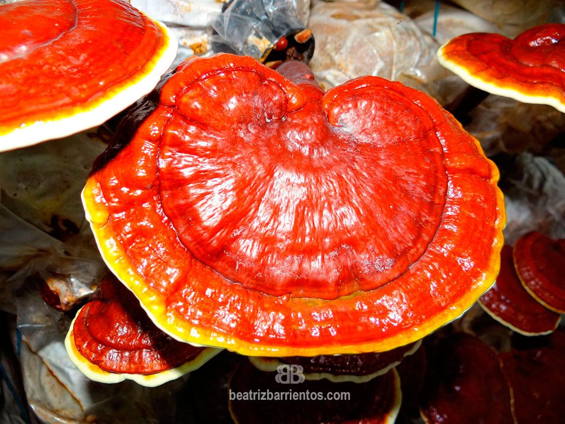 Reishi, el poder de los hongos medicinales
